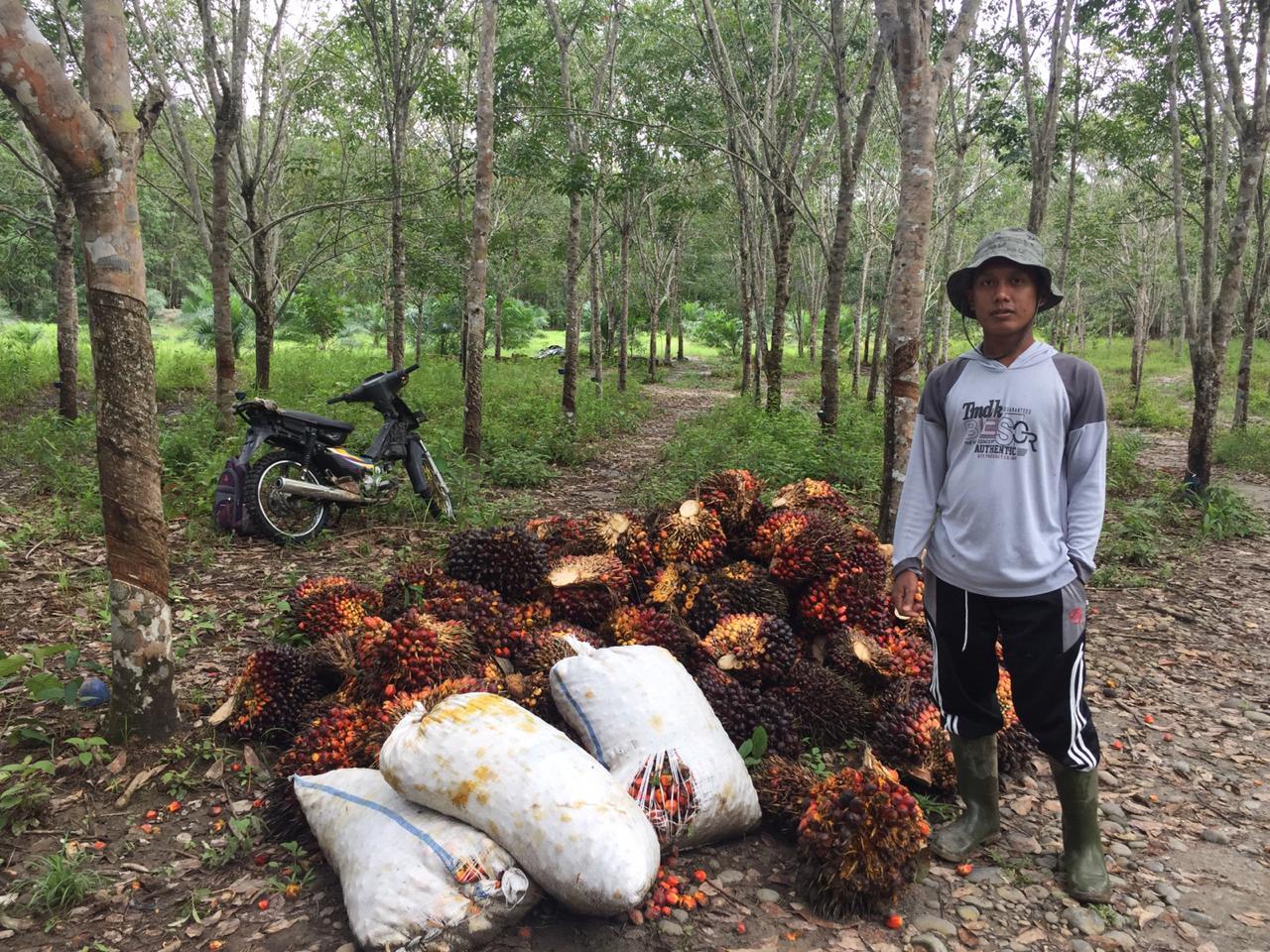 Potensi Benih Kultur Jaringan Pada Kelapa Sawit Warta Prima
